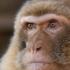 Hallan restos del último mono autóctono de Europa en Arrasate