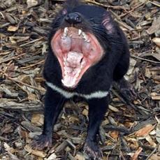 Revelado el origen del cáncer facial del demonio de Tasmania