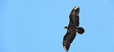 Los quebrantahuesos vuelven a volar sobre Sierra Nevada