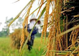 Logran componer un mapa completo del genoma del arroz