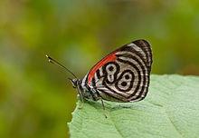 Mariposa Diaethria marchalii
