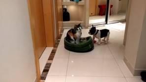 Un bulldog francés intenta recuperar su cama.