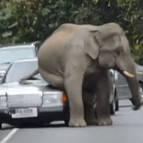 Un elefante 'se sienta' en un vehículo que circula por una carretera en Tailandia.