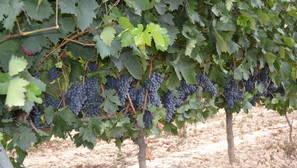 Viñedos en Rioja Alavesa.