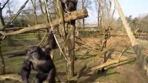 Un chimpacé rompe un drone con un palo.