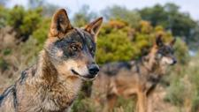Vecinos de Cantabria atermorizados por los ataques de lobos salvajes