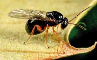 La avispilla del castaño, una plaga que ya ha llegado a España